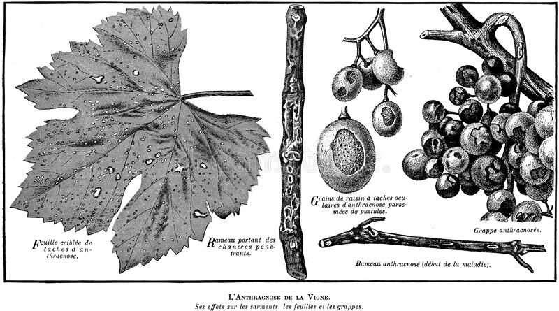 Anthracnose-oa Free Public Domain Cc0 Image