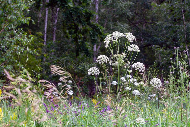 Cow parsley , Anthriscus sylvestris royalty free stock images