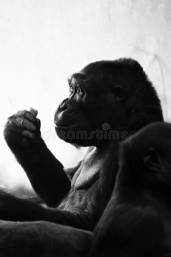 The anthropoid ape gorilla female sits in back light, and something in her hand holds a pensive anthropomorphic expression and. Posture stock photo