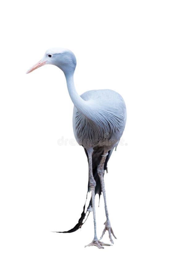 Free Anthropoides Paradisea; Gru From Paradise Royalty Free Stock Image - 57982416