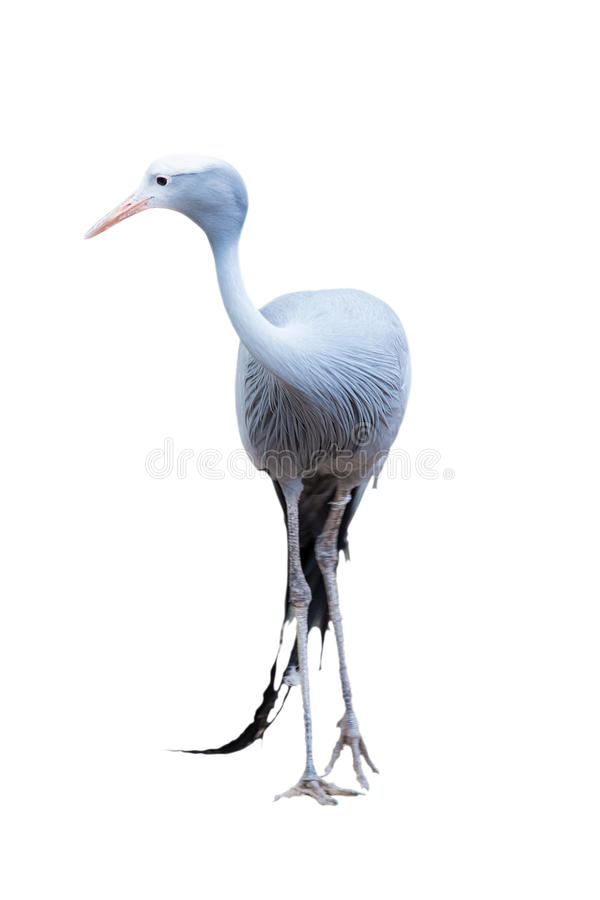 Anthropoides paradisea; Gru from paradise. Blue crane or Gru from paradise, Anthropoides paradisea isolated with path royalty free stock image