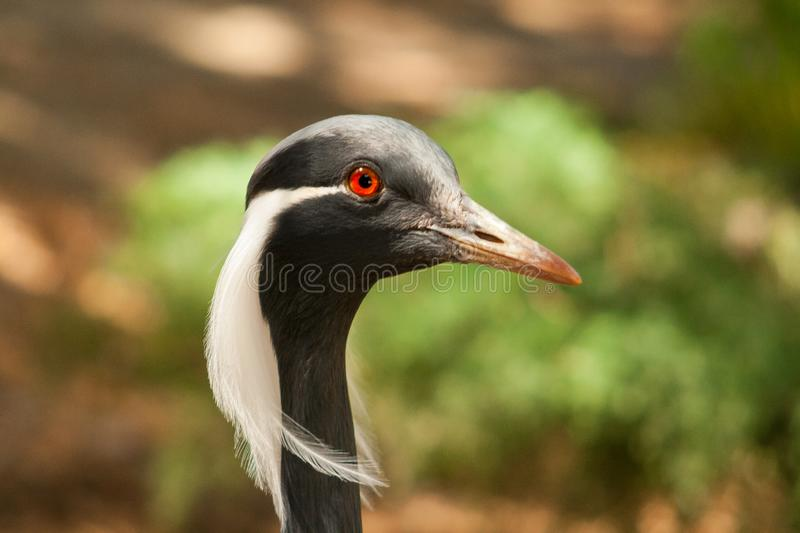 Anthropoides Virgo, funny bird stock photo
