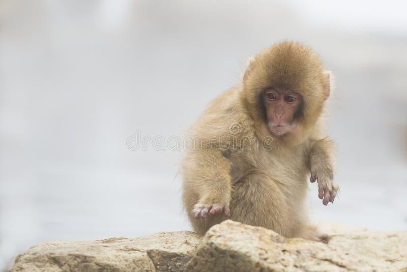 Anthropomorphism: Surprised Baby Snow Monkey stock image