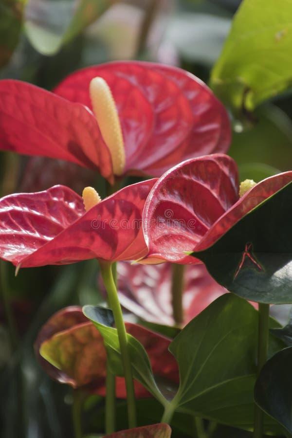Download Anthure En Fleur Dans Le Jardin Photo stock - Image du centrale, jardinier: 77150670