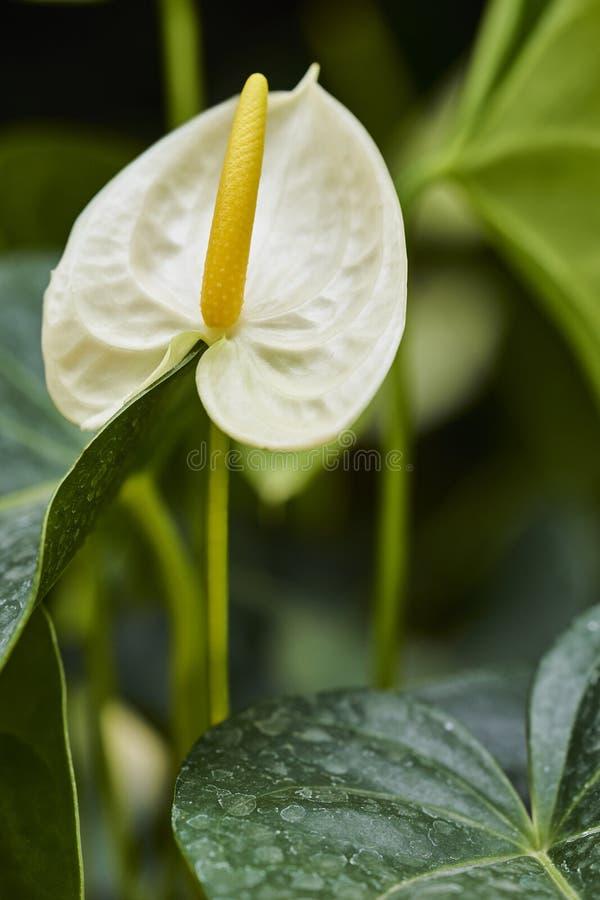 Anthurium λευκό στοκ φωτογραφίες με δικαίωμα ελεύθερης χρήσης