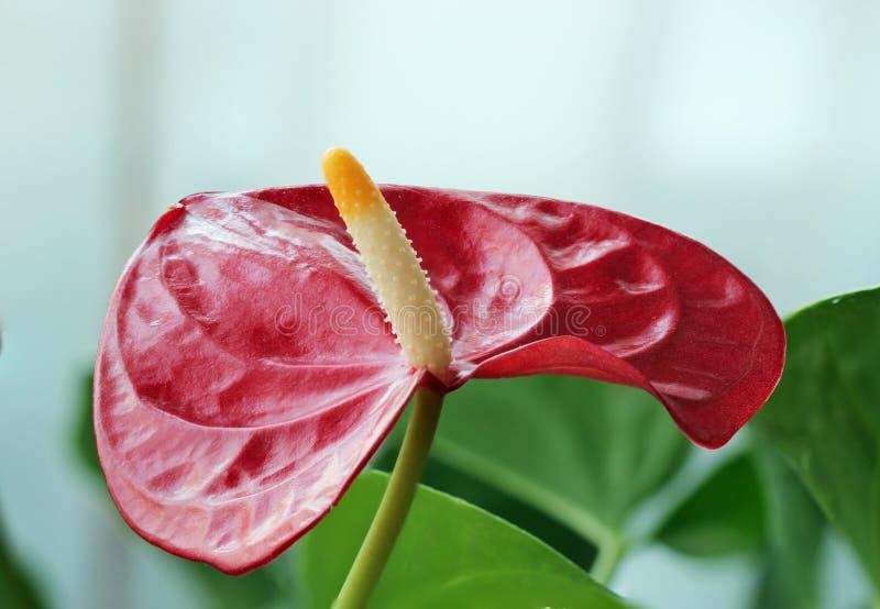Anthurium λουλούδι στοκ εικόνα