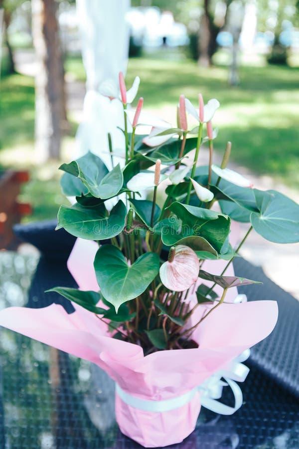 Anthurium ροζ σε ένα δοχείο Ρόδινο Anthurium λουλούδι στοκ εικόνες με δικαίωμα ελεύθερης χρήσης