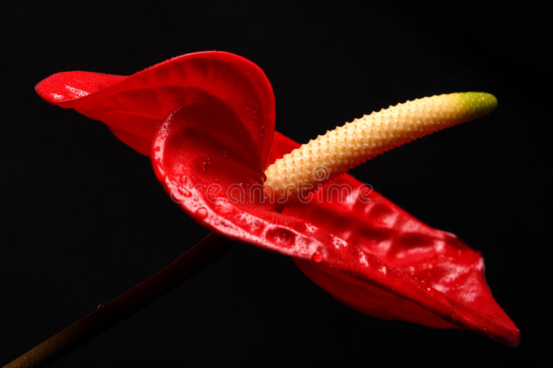Anthurium stock image