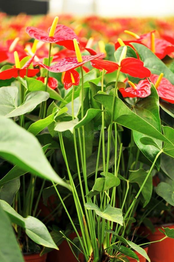 Download Anthurium stock image. Image of dakota, flowers, leaf - 25072507