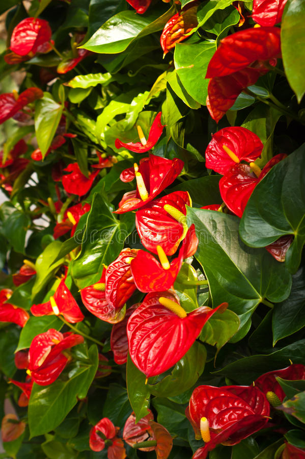 Anthurium. Red anthurium andreanum (flamingo lily) in the garden royalty free stock image