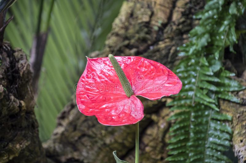 Anthurium andraeanum red flower in the garden.Flamingo lily,Tailflower,Laceleaf, Heart-shaped flower stock photography