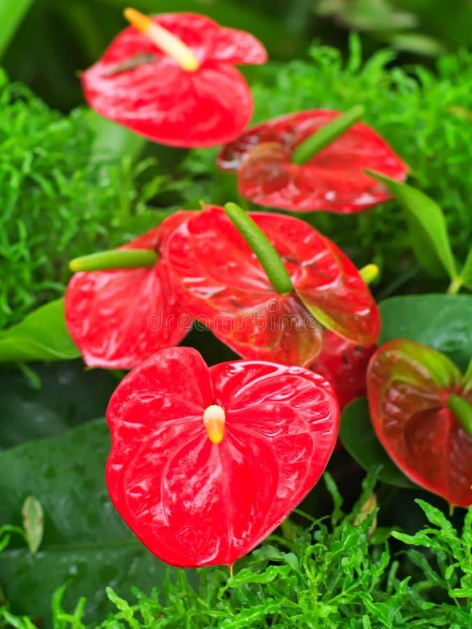 Anthurium andreanum Andre, tailflower, flaminga kwiat lub lacel, fotografia stock
