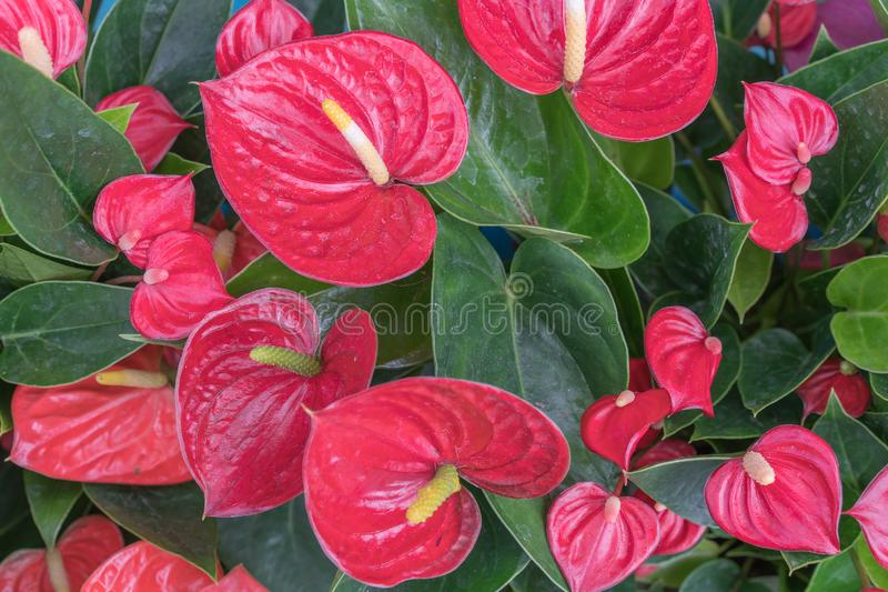 Anthurium andreanum Bright Red Miami Beauty, Common Name: Flamingo flower ; Flamingo lily ; Oilcloth flower; Painter`s palette royalty free stock photography