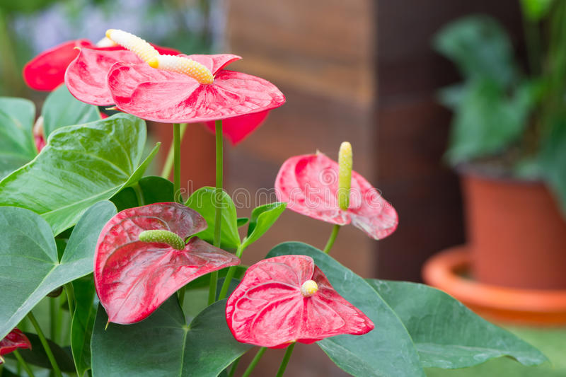 Anthurium. Beautiful red flower, anthurium with nature background royalty free stock photos