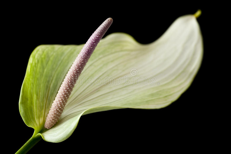 Anthurium. A bright Anthurium, also known as Flamingo Flower. Focus is sharp on the spadix stock photography