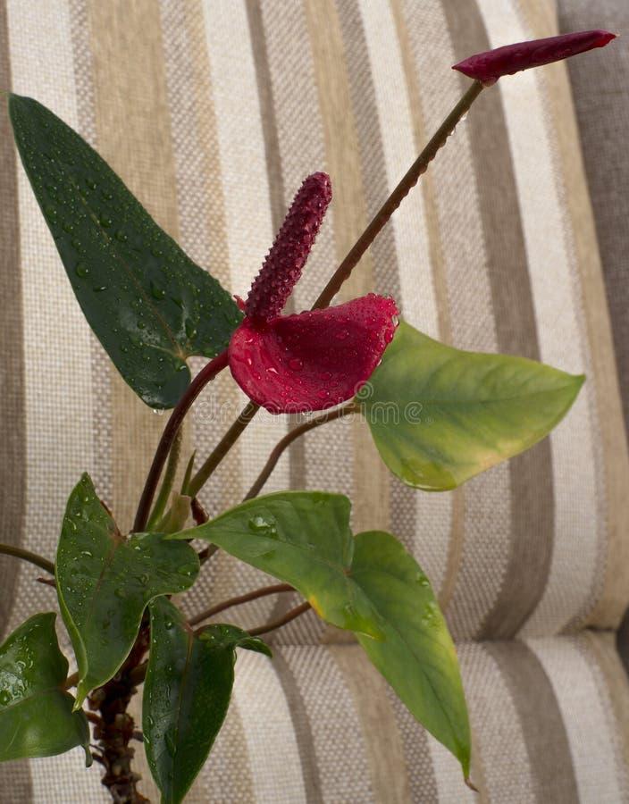 Anthurium de la flor, tronco e inflorescencia, macro foto de archivo libre de regalías