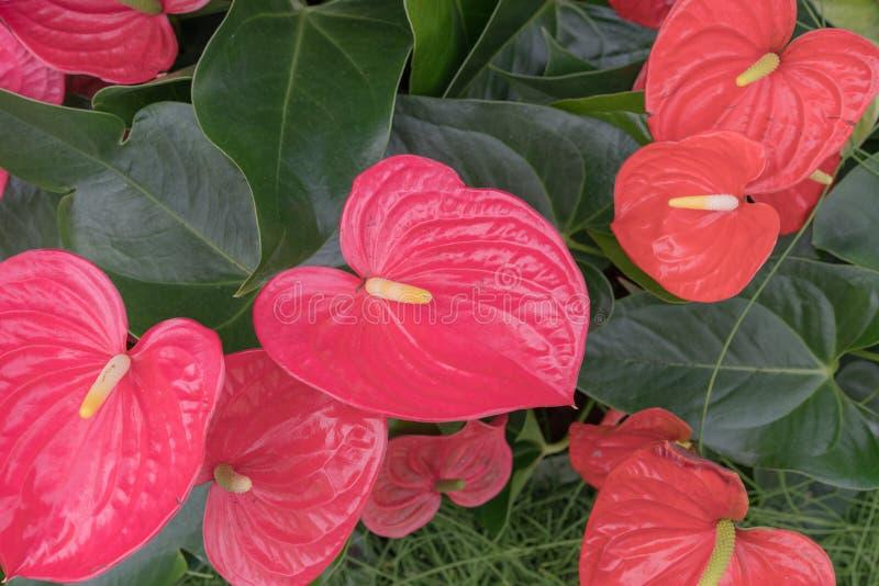 Anthurium of flamingo de bloemen sluiten omhoog van anthuriumbloemen royalty-vrije stock fotografie