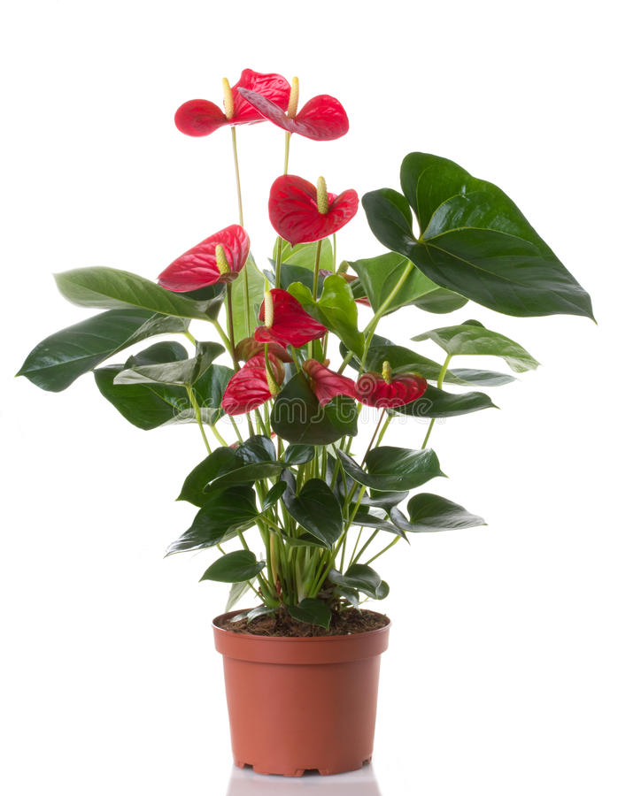 Anthurium flower. In pot isolated on white background stock photos