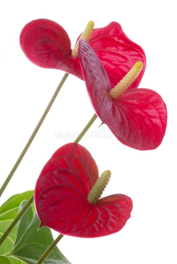 Anthurium flower. Isolated on white background royalty free stock photo