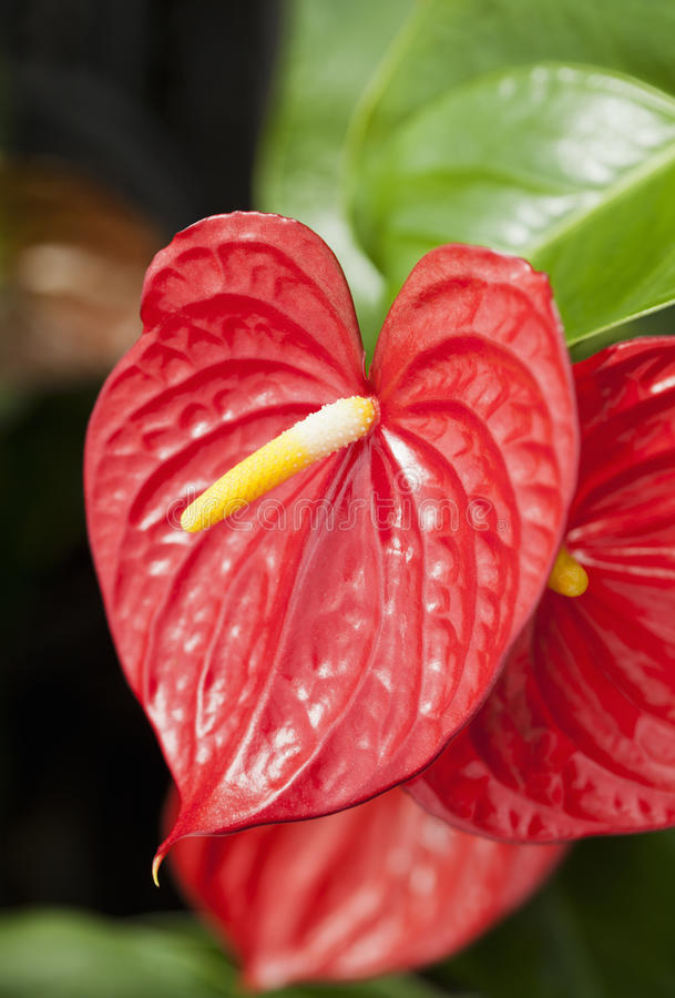 Free Anthurium flower Stock Photography - 61611772