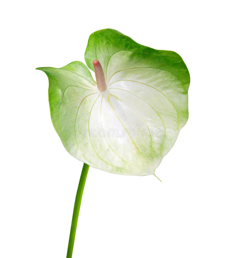 Anthurium flower. Isolated on white background stock photo