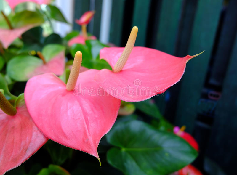 Anthurium flower pink color. Blossoming plant of Anthurium/Flamingo flowers royalty free stock images