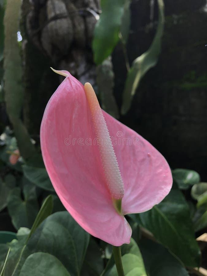 Anthurium flower in sri lanka stock images
