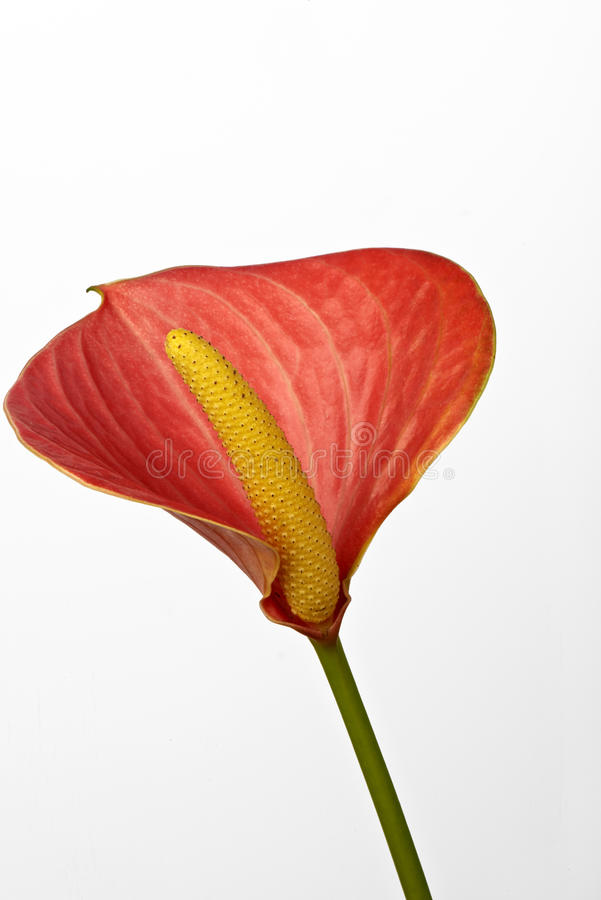 Anthurium. A flower of anthurium on a white background royalty free stock photos