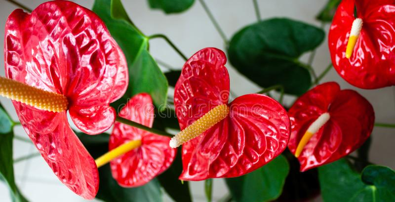 Anthurium flowers banner. royalty free stock photo