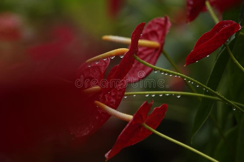 Anthurium flowers in a botanic garden. A botanic garden full of multiple colors little anthurium flowers in a wet cloudy day stock image