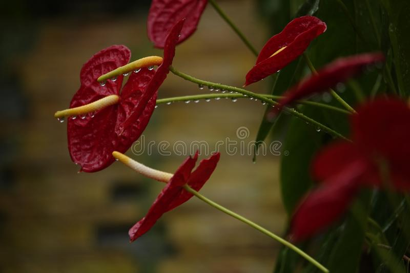 Anthurium flowers in a botanic garden. A botanic garden full of multiple colors little anthurium flowers in a wet cloudy day royalty free stock photos