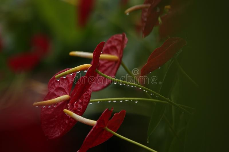 Anthurium flowers in a botanic garden. A botanic garden full of multiple colors little anthurium flowers in a wet cloudy day royalty free stock photo