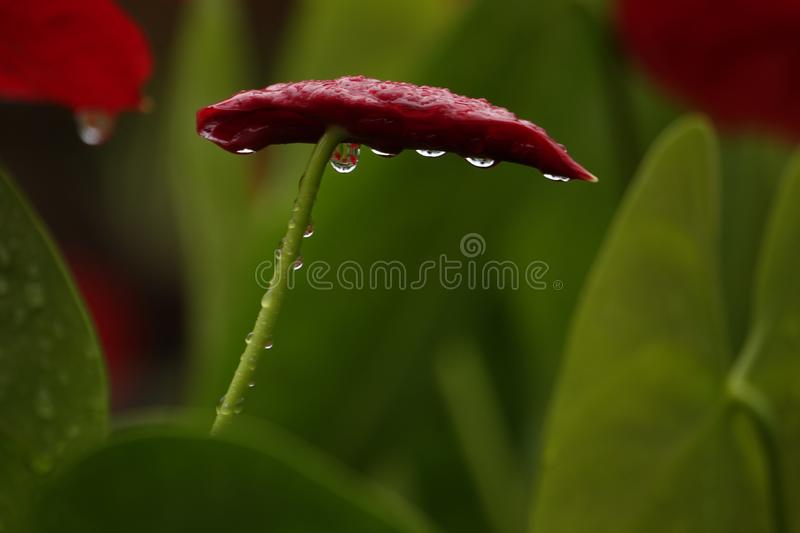 Anthurium flowers in a botanic garden. A botanic garden full of multiple colors little anthurium flowers in a wet cloudy day stock photo