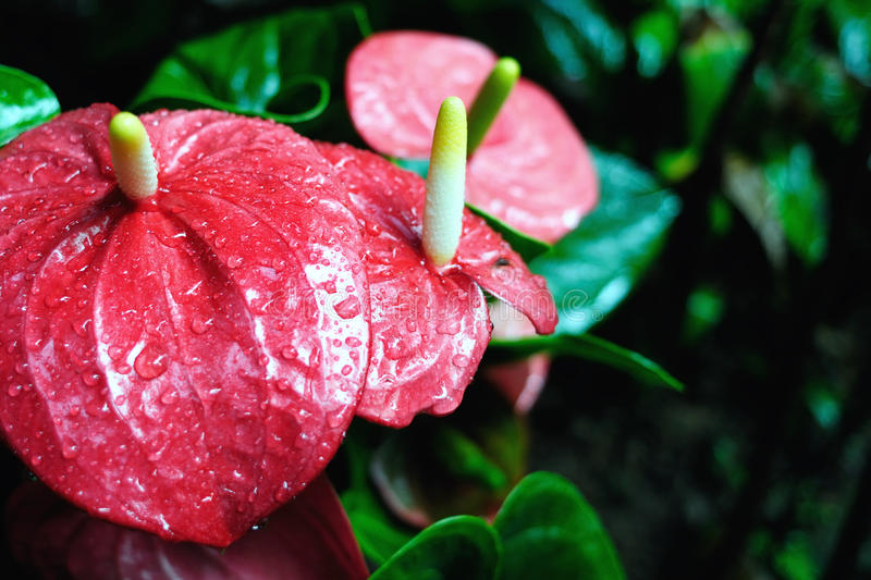 Anthurium. In a garden in Nanjing, China stock photo