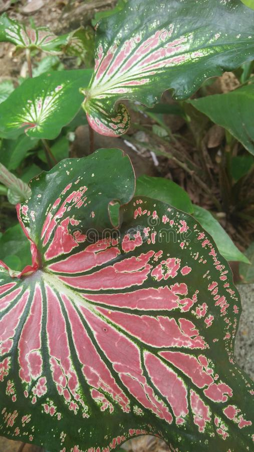 Anthurium leafs in sri lanka royalty free stock photo