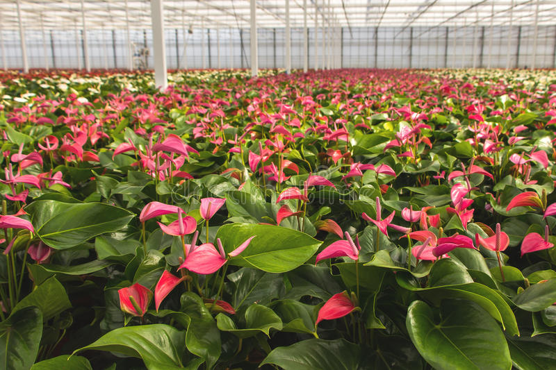 Anthurium Nursery Green House Stock Images - Download 13 Royalty