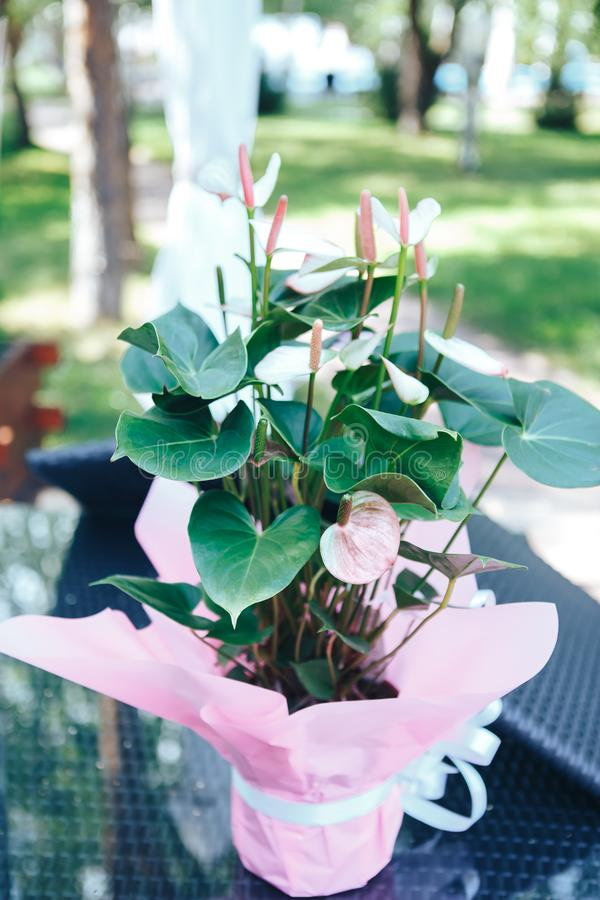 Anthurium pink in a pot. Pink Anthurium flower.  royalty free stock images