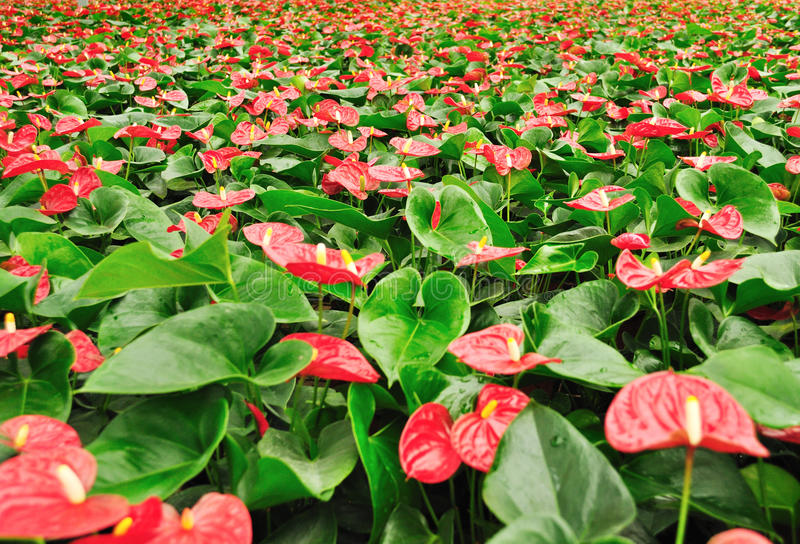 Anthurium plants. Grow in greenhouse stock photography