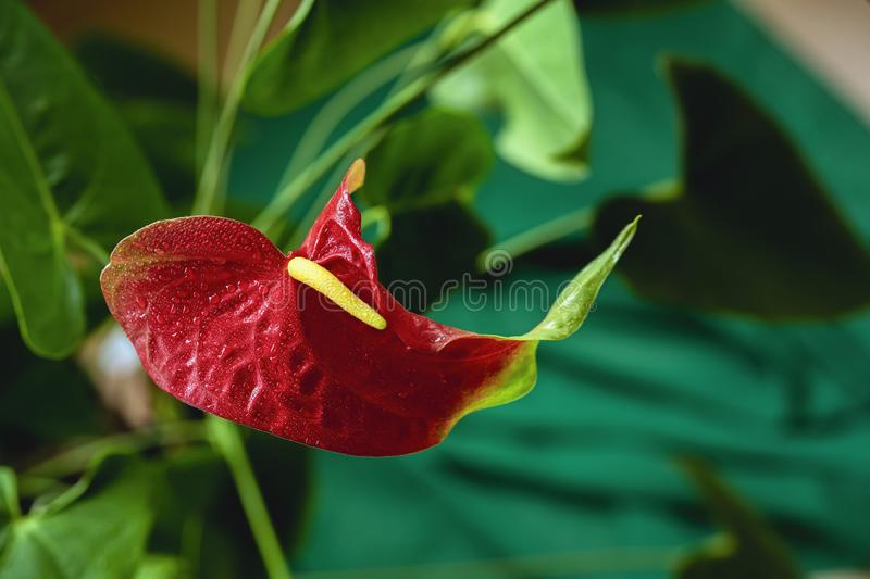 Anthurium red, Flamingo lily, tropical plant, flamingo flower royalty free stock images