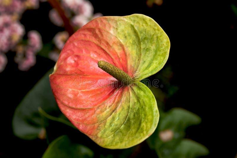 anthurium tła odosobniony czerwony biel zdjęcia royalty free