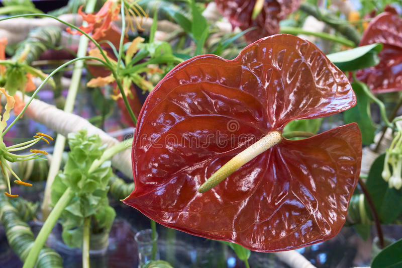 Anthurium Terrasol. One Anthurium Terrasol shot on the flower background stock images