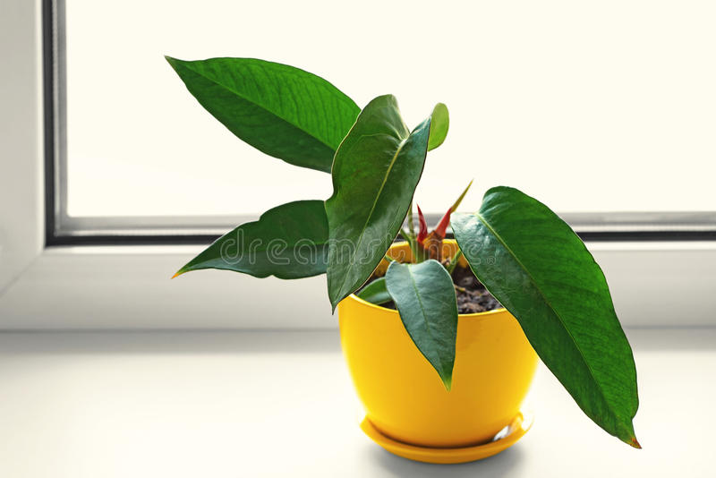 Anthurium in yellow pot. Potted plants. Anthurium in yellow pot. Flower on the windowsill stock photography