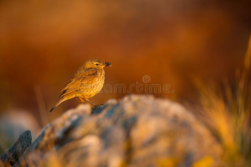Anthus petrosus. Runde Island. Norway`s wildlife. Beautiful picture. From the life of birds. Free nature. Runde Island in Norway. Scandinavian wildlife. North stock photo