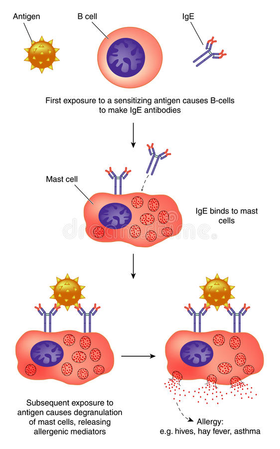 Antibody action and anaphylaxis stock illustration