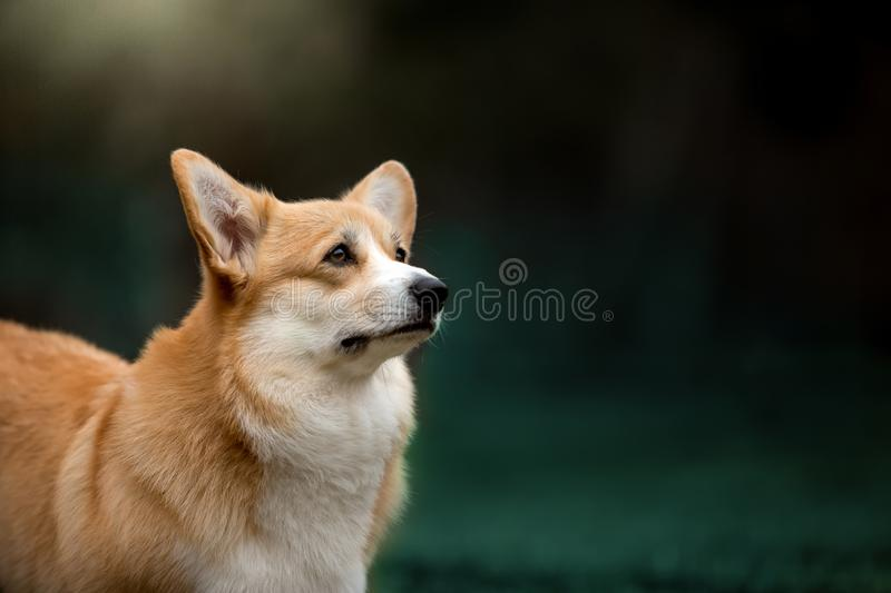 anticipar feliz do cão do corgi de Galês do retrato Fundo da grama verde fotografia de stock