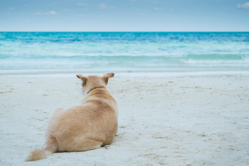 The anticipation of a dog on the beach. The anticipation of a dog on the beach in thailand royalty free stock photos