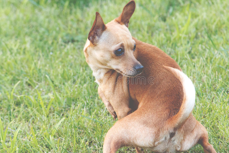 Anticipation. This is one of those images that should really speak for itself. Closeup of a tan colored Chihuahua dog outdoors in the grass taking a squating royalty free stock image