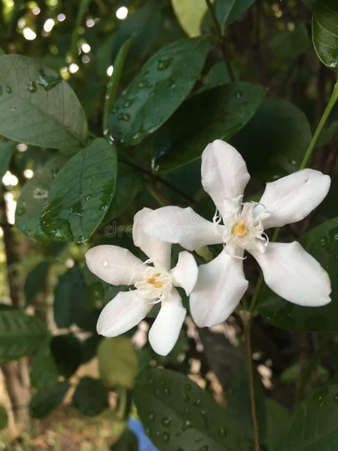 "Antidysenterica tropicale di Wrigthia ""del gelsomino ""- fotografie stock libere da diritti"