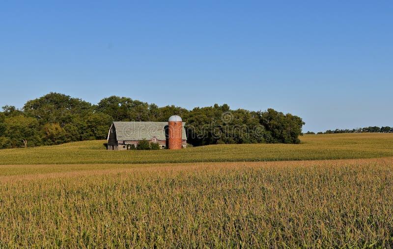Antigo celeiro e silo de leiteria cercados por um campo de milho imagem de stock royalty free