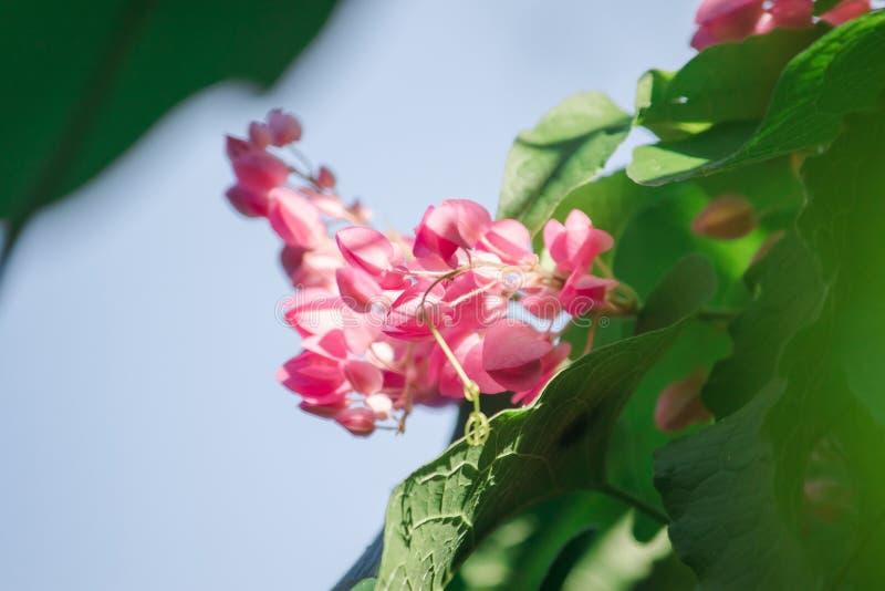 Antigonon leptopus勾子是美丽的花束 免版税图库摄影